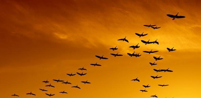 formation flying of birds
