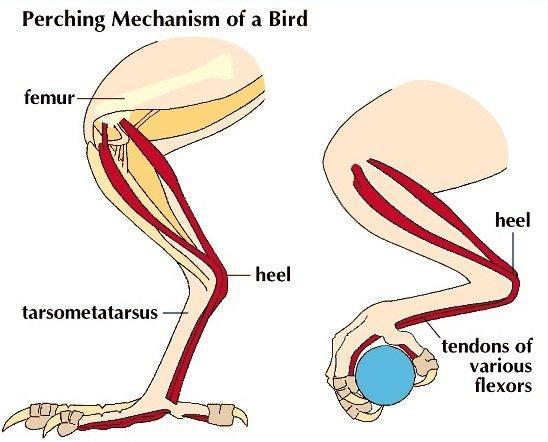 perching mechanism of a bird